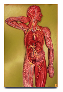 Lymphatic System Model Lymphatic Larry College Of