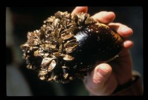 zebra mussel.jpg