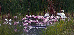 Pool of Spoonbills.jpg